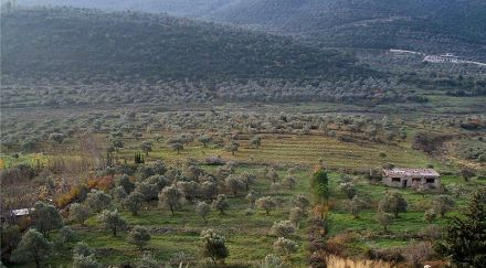 800px-Olive_groves_in_Syria